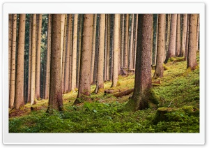 Forest Tall Trees Trunks