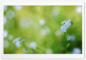 Forget-me-not HD Wide Wallpaper for Widescreen