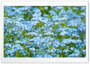 Forget-Me-Not HD Wide Wallpaper for 4K UHD Widescreen desktop & smartphone