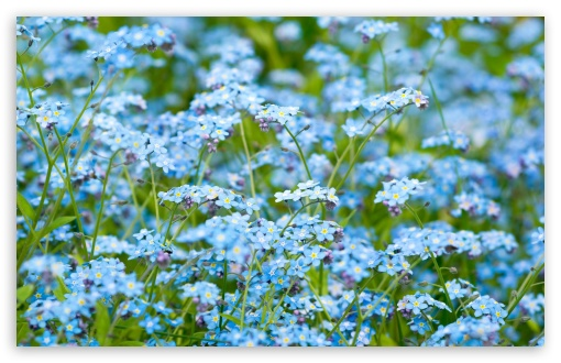 Forget-Me-Not ❤ 4K UHD Wallpaper for Wide 16:10 5:3 Widescreen WHXGA WQXGA WUXGA WXGA WGA ; 4K UHD 16:9 Ultra High Definition 2160p 1440p 1080p 900p 720p ; Standard 4:3 5:4 3:2 Fullscreen UXGA XGA SVGA QSXGA SXGA DVGA HVGA HQVGA ( Apple PowerBook G4 iPhone 4 3G 3GS iPod Touch ) ; Smartphone 5:3 WGA ; Tablet 1:1 ; iPad 1/2/Mini ; Mobile 4:3 5:3 3:2 16:9 5:4 - UXGA XGA SVGA WGA DVGA HVGA HQVGA ( Apple PowerBook G4 iPhone 4 3G 3GS iPod Touch ) 2160p 1440p 1080p 900p 720p QSXGA SXGA ; Dual 16:10 5:3 16:9 4:3 5:4 WHXGA WQXGA WUXGA WXGA WGA 2160p 1440p 1080p 900p 720p UXGA XGA SVGA QSXGA SXGA ;
