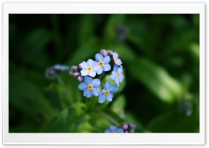 Forget-me-not Flower HD Wide Wallpaper for Widescreen