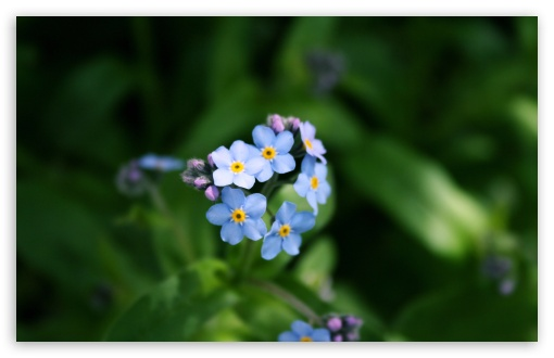 Forget-me-not Flower HD wallpaper for Wide 16:10 5:3 Widescreen WHXGA WQXGA WUXGA WXGA WGA ; HD 16:9 High Definition WQHD QWXGA 1080p 900p 720p QHD nHD ; Standard 4:3 5:4 3:2 Fullscreen UXGA XGA SVGA QSXGA SXGA DVGA HVGA HQVGA devices ( Apple PowerBook G4 iPhone 4 3G 3GS iPod Touch ) ; Tablet 1:1 ; iPad 1/2/Mini ; Mobile 4:3 5:3 3:2 16:9 5:4 - UXGA XGA SVGA WGA DVGA HVGA HQVGA devices ( Apple PowerBook G4 iPhone 4 3G 3GS iPod Touch ) WQHD QWXGA 1080p 900p 720p QHD nHD QSXGA SXGA ; Dual 16:10 5:3 16:9 4:3 5:4 WHXGA WQXGA WUXGA WXGA WGA WQHD QWXGA 1080p 900p 720p QHD nHD UXGA XGA SVGA QSXGA SXGA ;