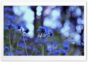 Forget Me Not Flowers HD Wide Wallpaper for Widescreen