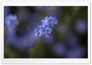Forget-me-not Flowers Macro HD Wide Wallpaper for Widescreen