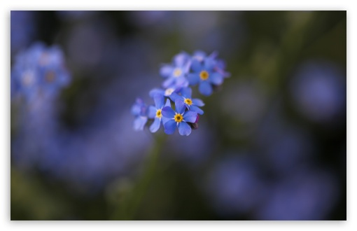 Forget-me-not Flowers Macro ❤ 4K UHD Wallpaper for Wide 16:10 5:3 Widescreen WHXGA WQXGA WUXGA WXGA WGA ; 4K UHD 16:9 Ultra High Definition 2160p 1440p 1080p 900p 720p ; UHD 16:9 2160p 1440p 1080p 900p 720p ; Standard 4:3 5:4 3:2 Fullscreen UXGA XGA SVGA QSXGA SXGA DVGA HVGA HQVGA ( Apple PowerBook G4 iPhone 4 3G 3GS iPod Touch ) ; Tablet 1:1 ; iPad 1/2/Mini ; Mobile 4:3 5:3 3:2 16:9 5:4 - UXGA XGA SVGA WGA DVGA HVGA HQVGA ( Apple PowerBook G4 iPhone 4 3G 3GS iPod Touch ) 2160p 1440p 1080p 900p 720p QSXGA SXGA ; Dual 16:10 5:3 16:9 4:3 5:4 WHXGA WQXGA WUXGA WXGA WGA 2160p 1440p 1080p 900p 720p UXGA XGA SVGA QSXGA SXGA ;