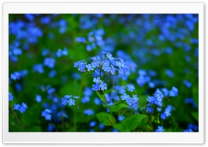 Forget Me Nots HD Wide Wallpaper for Widescreen