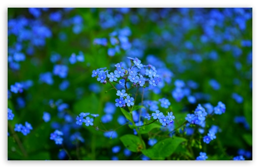Forget Me Nots HD wallpaper for Wide 16:10 5:3 Widescreen WHXGA WQXGA WUXGA WXGA WGA ; UltraWide 21:9 24:10 ; HD 16:9 High Definition WQHD QWXGA 1080p 900p 720p QHD nHD ; UHD 16:9 WQHD QWXGA 1080p 900p 720p QHD nHD ; Standard 4:3 5:4 3:2 Fullscreen UXGA XGA SVGA QSXGA SXGA DVGA HVGA HQVGA devices ( Apple PowerBook G4 iPhone 4 3G 3GS iPod Touch ) ; Smartphone 16:9 3:2 5:3 WQHD QWXGA 1080p 900p 720p QHD nHD DVGA HVGA HQVGA devices ( Apple PowerBook G4 iPhone 4 3G 3GS iPod Touch ) WGA ; Tablet 1:1 ; iPad 1/2/Mini ; Mobile 4:3 5:3 3:2 16:9 5:4 - UXGA XGA SVGA WGA DVGA HVGA HQVGA devices ( Apple PowerBook G4 iPhone 4 3G 3GS iPod Touch ) WQHD QWXGA 1080p 900p 720p QHD nHD QSXGA SXGA ; Dual 16:10 WHXGA WQXGA WUXGA WXGA ;