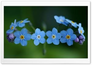 Forget-Me-Nots Flowers HD Wide Wallpaper for Widescreen