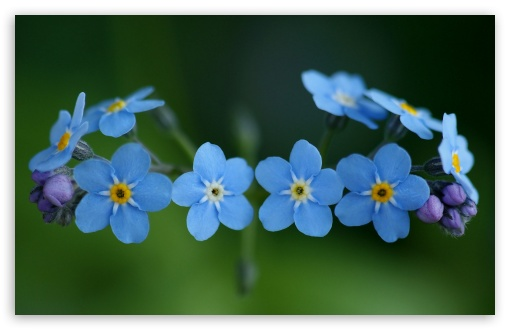 Forget-Me-Nots Flowers ❤ 4K UHD Wallpaper for Wide 16:10 5:3 Widescreen WHXGA WQXGA WUXGA WXGA WGA ; 4K UHD 16:9 Ultra High Definition 2160p 1440p 1080p 900p 720p ; Standard 4:3 5:4 3:2 Fullscreen UXGA XGA SVGA QSXGA SXGA DVGA HVGA HQVGA ( Apple PowerBook G4 iPhone 4 3G 3GS iPod Touch ) ; Tablet 1:1 ; iPad 1/2/Mini ; Mobile 4:3 5:3 3:2 16:9 5:4 - UXGA XGA SVGA WGA DVGA HVGA HQVGA ( Apple PowerBook G4 iPhone 4 3G 3GS iPod Touch ) 2160p 1440p 1080p 900p 720p QSXGA SXGA ;