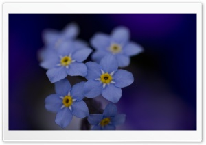 Forget Me Nots Macro HD Wide Wallpaper for Widescreen