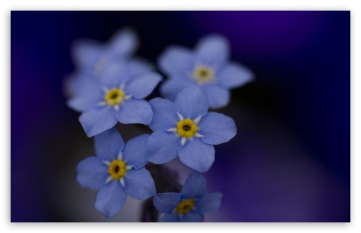 Forget Me Nots Macro ❤ 4K UHD Wallpaper for Wide 16:10 5:3 Widescreen WHXGA WQXGA WUXGA WXGA WGA ; 4K UHD 16:9 Ultra High Definition 2160p 1440p 1080p 900p 720p ; UHD 16:9 2160p 1440p 1080p 900p 720p ; Standard 4:3 5:4 3:2 Fullscreen UXGA XGA SVGA QSXGA SXGA DVGA HVGA HQVGA ( Apple PowerBook G4 iPhone 4 3G 3GS iPod Touch ) ; Tablet 1:1 ; iPad 1/2/Mini ; Mobile 4:3 5:3 3:2 16:9 5:4 - UXGA XGA SVGA WGA DVGA HVGA HQVGA ( Apple PowerBook G4 iPhone 4 3G 3GS iPod Touch ) 2160p 1440p 1080p 900p 720p QSXGA SXGA ;