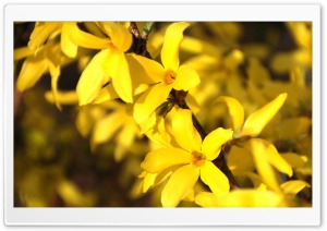 Forsythia HD Wide Wallpaper for 4K UHD Widescreen desktop & smartphone
