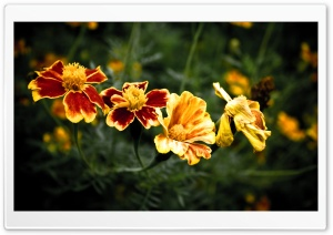 Four Flowers HD Wide Wallpaper for Widescreen