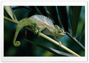 Four Horned Chameleon HD Wide Wallpaper for Widescreen