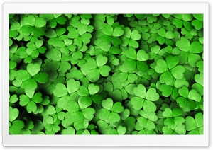 Four-leaf Clover HD Wide Wallpaper for 4K UHD Widescreen desktop & smartphone