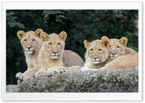 Four Lion Cubs Ultra HD Wallpaper for 4K UHD Widescreen desktop, tablet & smartphone