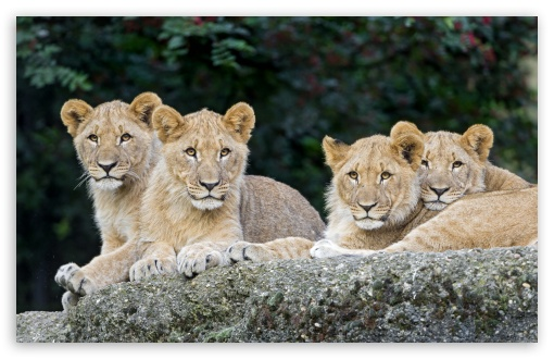 Four Lion Cubs UltraHD Wallpaper for Wide 16:10 5:3 Widescreen WHXGA WQXGA WUXGA WXGA WGA ; UltraWide 21:9 24:10 ; 8K UHD TV 16:9 Ultra High Definition 2160p 1440p 1080p 900p 720p ; UHD 16:9 2160p 1440p 1080p 900p 720p ; Standard 4:3 5:4 3:2 Fullscreen UXGA XGA SVGA QSXGA SXGA DVGA HVGA HQVGA ( Apple PowerBook G4 iPhone 4 3G 3GS iPod Touch ) ; iPad 1/2/Mini ; Mobile 4:3 5:3 3:2 16:9 5:4 - UXGA XGA SVGA WGA DVGA HVGA HQVGA ( Apple PowerBook G4 iPhone 4 3G 3GS iPod Touch ) 2160p 1440p 1080p 900p 720p QSXGA SXGA ;