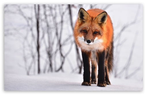 Fox ❤ 4K UHD Wallpaper for Wide 16:10 5:3 Widescreen WHXGA WQXGA WUXGA WXGA WGA ; 4K UHD 16:9 Ultra High Definition 2160p 1440p 1080p 900p 720p ; UHD 16:9 2160p 1440p 1080p 900p 720p ; Standard 4:3 5:4 3:2 Fullscreen UXGA XGA SVGA QSXGA SXGA DVGA HVGA HQVGA ( Apple PowerBook G4 iPhone 4 3G 3GS iPod Touch ) ; Smartphone 5:3 WGA ; Tablet 1:1 ; iPad 1/2/Mini ; Mobile 4:3 5:3 3:2 16:9 5:4 - UXGA XGA SVGA WGA DVGA HVGA HQVGA ( Apple PowerBook G4 iPhone 4 3G 3GS iPod Touch ) 2160p 1440p 1080p 900p 720p QSXGA SXGA ;