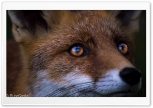 Fox HD Wide Wallpaper for Widescreen