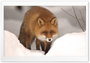 Fox, Winter HD Wide Wallpaper for Widescreen