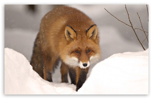 Fox, Winter ❤ 4K UHD Wallpaper for Wide 16:10 5:3 Widescreen WHXGA WQXGA WUXGA WXGA WGA ; 4K UHD 16:9 Ultra High Definition 2160p 1440p 1080p 900p 720p ; Standard 4:3 5:4 3:2 Fullscreen UXGA XGA SVGA QSXGA SXGA DVGA HVGA HQVGA ( Apple PowerBook G4 iPhone 4 3G 3GS iPod Touch ) ; Tablet 1:1 ; iPad 1/2/Mini ; Mobile 4:3 5:3 3:2 16:9 5:4 - UXGA XGA SVGA WGA DVGA HVGA HQVGA ( Apple PowerBook G4 iPhone 4 3G 3GS iPod Touch ) 2160p 1440p 1080p 900p 720p QSXGA SXGA ;