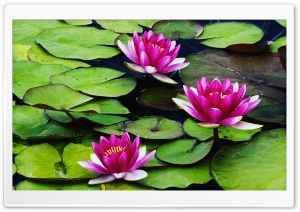 Fragrant Water Lilies HD Wide Wallpaper for Widescreen