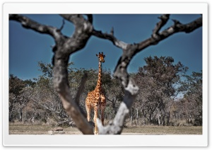 Framed Giraffe HD Wide Wallpaper for Widescreen
