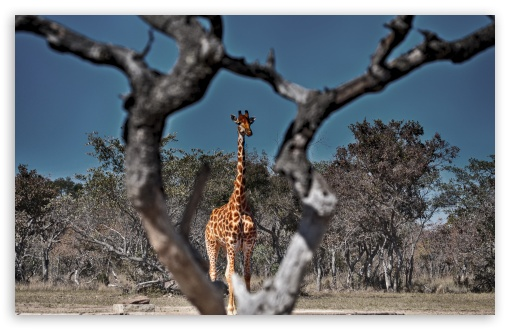 Framed Giraffe ❤ 4K UHD Wallpaper for Wide 16:10 5:3 Widescreen WHXGA WQXGA WUXGA WXGA WGA ; 4K UHD 16:9 Ultra High Definition 2160p 1440p 1080p 900p 720p ; Standard 4:3 5:4 3:2 Fullscreen UXGA XGA SVGA QSXGA SXGA DVGA HVGA HQVGA ( Apple PowerBook G4 iPhone 4 3G 3GS iPod Touch ) ; Tablet 1:1 ; iPad 1/2/Mini ; Mobile 4:3 5:3 3:2 16:9 5:4 - UXGA XGA SVGA WGA DVGA HVGA HQVGA ( Apple PowerBook G4 iPhone 4 3G 3GS iPod Touch ) 2160p 1440p 1080p 900p 720p QSXGA SXGA ;