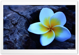 Frangipani HD Wide Wallpaper for Widescreen