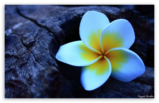 Frangipani UltraHD Wallpaper for Wide 16:10 5:3 Widescreen WHXGA WQXGA WUXGA WXGA WGA ; 8K UHD TV 16:9 Ultra High Definition 2160p 1440p 1080p 900p 720p ; UHD 16:9 2160p 1440p 1080p 900p 720p ; Standard 4:3 5:4 3:2 Fullscreen UXGA XGA SVGA QSXGA SXGA DVGA HVGA HQVGA ( Apple PowerBook G4 iPhone 4 3G 3GS iPod Touch ) ; Tablet 1:1 ; iPad 1/2/Mini ; Mobile 4:3 5:3 3:2 16:9 5:4 - UXGA XGA SVGA WGA DVGA HVGA HQVGA ( Apple PowerBook G4 iPhone 4 3G 3GS iPod Touch ) 2160p 1440p 1080p 900p 720p QSXGA SXGA ;