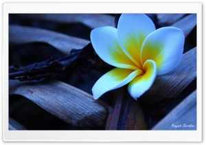 Frangipani In The Morning 1 HD Wide Wallpaper for Widescreen