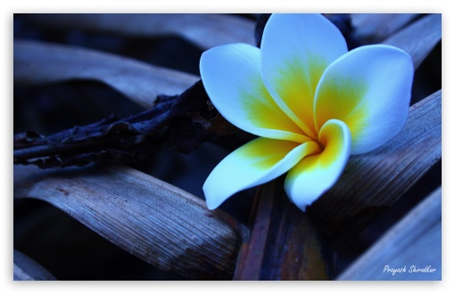Frangipani In The Morning 1 HD wallpaper for Wide 16:10 5:3 Widescreen WHXGA WQXGA WUXGA WXGA WGA ; HD 16:9 High Definition WQHD QWXGA 1080p 900p 720p QHD nHD ; UHD 16:9 WQHD QWXGA 1080p 900p 720p QHD nHD ; Standard 4:3 5:4 3:2 Fullscreen UXGA XGA SVGA QSXGA SXGA DVGA HVGA HQVGA devices ( Apple PowerBook G4 iPhone 4 3G 3GS iPod Touch ) ; Tablet 1:1 ; iPad 1/2/Mini ; Mobile 4:3 5:3 3:2 16:9 5:4 - UXGA XGA SVGA WGA DVGA HVGA HQVGA devices ( Apple PowerBook G4 iPhone 4 3G 3GS iPod Touch ) WQHD QWXGA 1080p 900p 720p QHD nHD QSXGA SXGA ;