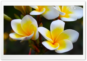 Frangipani Yellow HD Wide Wallpaper for Widescreen
