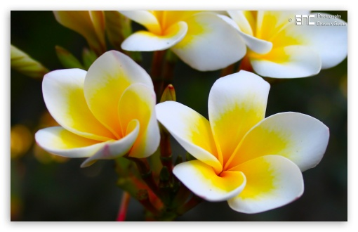 Frangipani Yellow ❤ 4K UHD Wallpaper for Wide 16:10 5:3 Widescreen WHXGA WQXGA WUXGA WXGA WGA ; 4K UHD 16:9 Ultra High Definition 2160p 1440p 1080p 900p 720p ; UHD 16:9 2160p 1440p 1080p 900p 720p ; Standard 3:2 Fullscreen DVGA HVGA HQVGA ( Apple PowerBook G4 iPhone 4 3G 3GS iPod Touch ) ; Mobile 5:3 3:2 16:9 - WGA DVGA HVGA HQVGA ( Apple PowerBook G4 iPhone 4 3G 3GS iPod Touch ) 2160p 1440p 1080p 900p 720p ;