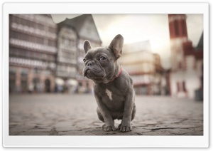French Bulldog HD Wide Wallpaper for 4K UHD Widescreen desktop & smartphone