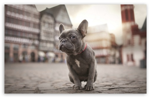 French Bulldog 4K HD Desktop Wallpaper for 4K Ultra HD TV ...