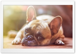 French Bulldog Dog laid down Ultra HD Wallpaper for 4K UHD Widescreen desktop, tablet & smartphone