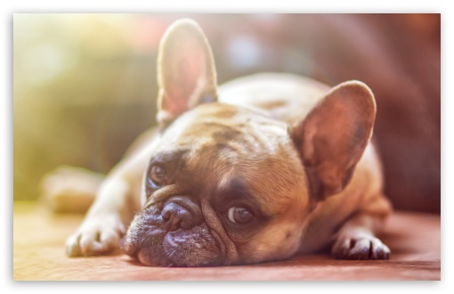 French Bulldog Dog laid down ❤ 4K UHD Wallpaper for Wide 16:10 5:3 Widescreen WHXGA WQXGA WUXGA WXGA WGA ; UltraWide 21:9 24:10 ; 4K UHD 16:9 Ultra High Definition 2160p 1440p 1080p 900p 720p ; UHD 16:9 2160p 1440p 1080p 900p 720p ; Standard 4:3 5:4 3:2 Fullscreen UXGA XGA SVGA QSXGA SXGA DVGA HVGA HQVGA ( Apple PowerBook G4 iPhone 4 3G 3GS iPod Touch ) ; Tablet 1:1 ; iPad 1/2/Mini ; Mobile 4:3 5:3 3:2 16:9 5:4 - UXGA XGA SVGA WGA DVGA HVGA HQVGA ( Apple PowerBook G4 iPhone 4 3G 3GS iPod Touch ) 2160p 1440p 1080p 900p 720p QSXGA SXGA ;