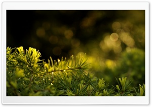 Fresh Fir Needles HD Wide Wallpaper for Widescreen