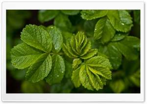 Fresh Green Leaves HD Wide Wallpaper for Widescreen