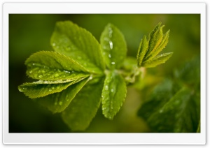 Fresh Green Leaves And Water Drops HD Wide Wallpaper for Widescreen