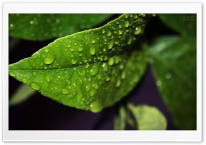Fresh Leaf HD Wide Wallpaper for Widescreen