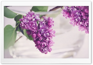 Fresh Lilac Flowers in a Vase HD Wide Wallpaper for 4K UHD Widescreen desktop & smartphone