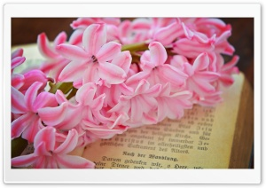 Fresh Pink Hyacinth Flower HD Wide Wallpaper for Widescreen