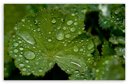 Fresh Water Drops On A Green Leaf ❤ 4K UHD Wallpaper for Wide 16:10 5:3 Widescreen WHXGA WQXGA WUXGA WXGA WGA ; 4K UHD 16:9 Ultra High Definition 2160p 1440p 1080p 900p 720p ; Standard 4:3 5:4 3:2 Fullscreen UXGA XGA SVGA QSXGA SXGA DVGA HVGA HQVGA ( Apple PowerBook G4 iPhone 4 3G 3GS iPod Touch ) ; iPad 1/2/Mini ; Mobile 4:3 5:3 3:2 16:9 5:4 - UXGA XGA SVGA WGA DVGA HVGA HQVGA ( Apple PowerBook G4 iPhone 4 3G 3GS iPod Touch ) 2160p 1440p 1080p 900p 720p QSXGA SXGA ;