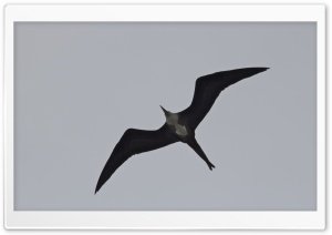 Frigatebird HD Wide Wallpaper for Widescreen
