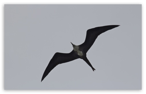 Frigatebird ❤ 4K UHD Wallpaper for Wide 16:10 5:3 Widescreen WHXGA WQXGA WUXGA WXGA WGA ; 4K UHD 16:9 Ultra High Definition 2160p 1440p 1080p 900p 720p ; UHD 16:9 2160p 1440p 1080p 900p 720p ; Standard 4:3 5:4 3:2 Fullscreen UXGA XGA SVGA QSXGA SXGA DVGA HVGA HQVGA ( Apple PowerBook G4 iPhone 4 3G 3GS iPod Touch ) ; Tablet 1:1 ; iPad 1/2/Mini ; Mobile 4:3 5:3 3:2 16:9 5:4 - UXGA XGA SVGA WGA DVGA HVGA HQVGA ( Apple PowerBook G4 iPhone 4 3G 3GS iPod Touch ) 2160p 1440p 1080p 900p 720p QSXGA SXGA ;