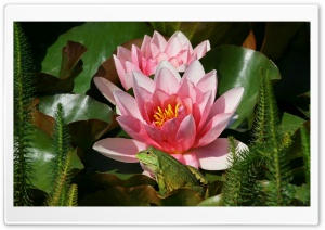 Frog And Pink Water Lilies HD Wide Wallpaper for Widescreen