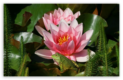 Frog And Pink Water Lilies HD wallpaper for Wide 16:10 5:3 Widescreen WHXGA WQXGA WUXGA WXGA WGA ; Standard 4:3 5:4 3:2 Fullscreen UXGA XGA SVGA QSXGA SXGA DVGA HVGA HQVGA devices ( Apple PowerBook G4 iPhone 4 3G 3GS iPod Touch ) ; Tablet 1:1 ; iPad 1/2/Mini ; Mobile 4:3 5:3 3:2 5:4 - UXGA XGA SVGA WGA DVGA HVGA HQVGA devices ( Apple PowerBook G4 iPhone 4 3G 3GS iPod Touch ) QSXGA SXGA ;