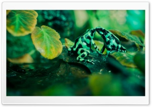 Frog Kiss HD Wide Wallpaper for Widescreen